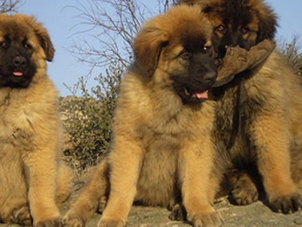 cao-serra-da-estrela-puppy